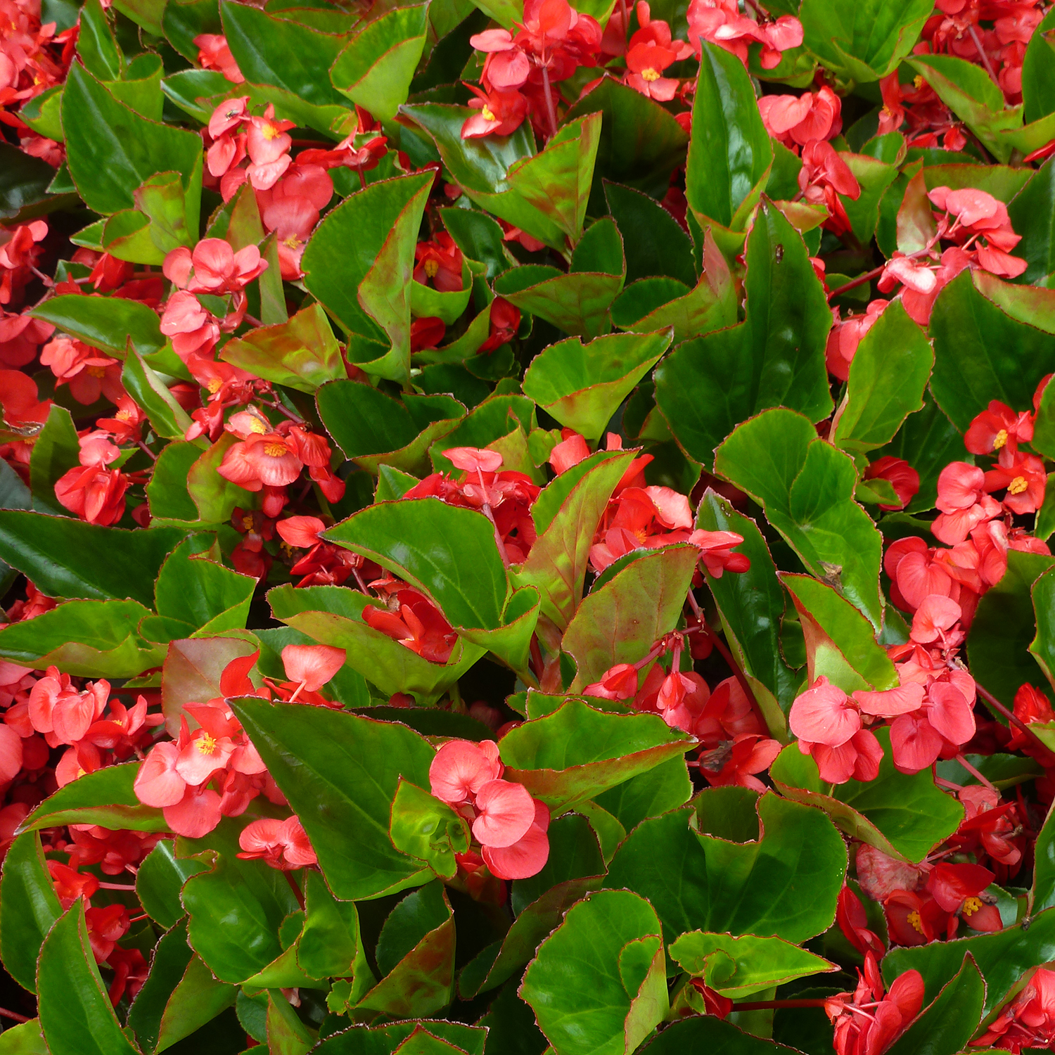 how to take care of begonia plants