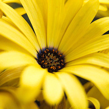 Osteospermum osteospermum yellow symphony bears golden yellow flowers with purple centers on drought tolerant 14 inch tall plants zones 9 11 mightylinksfo