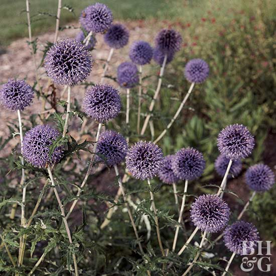 Better Homes And Gardens Sweepstakes >> Globe Thistle