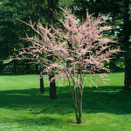The best flowering trees and shrubs for Great small trees for landscaping