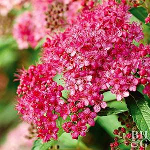 Spirea froebel spirea mightylinksfo