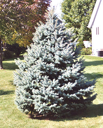 - Buying A Christmas Tree To Plant