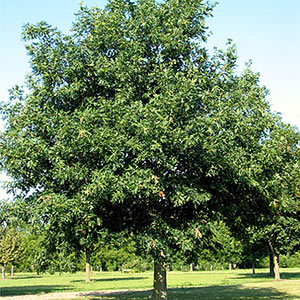 Healthy mature shade trees can contribute up to $1500 toward a lotu0027s value. & Selecting Trees for Your Yard